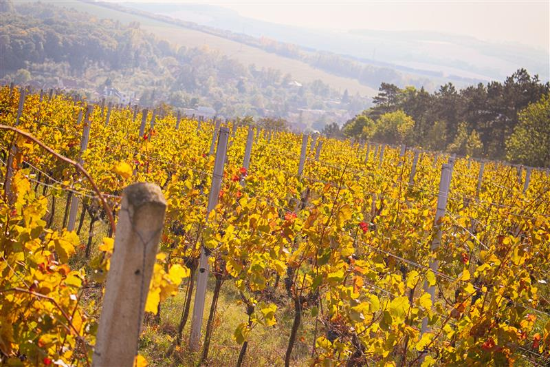 Look at vineyard in the fall