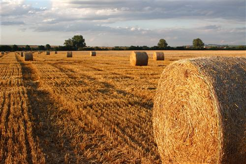 Mown field with haystacks