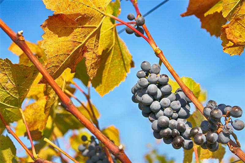 Autumn in the vineyard and blue grapes