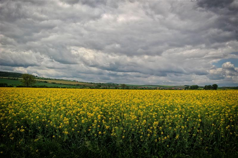 Dark clouds above a rape field