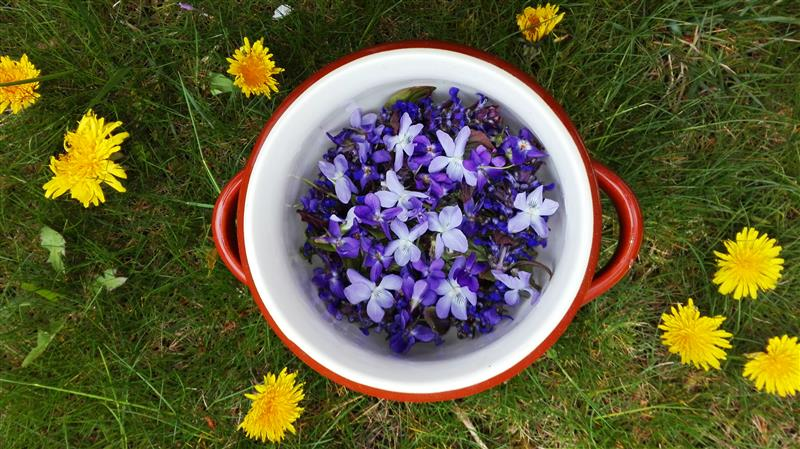 Picked violets in the red pot