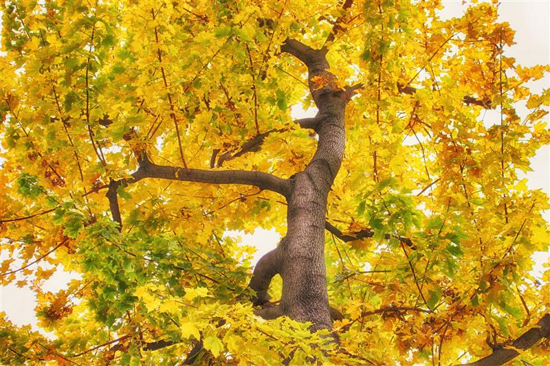 Treetop with yellow leaves
