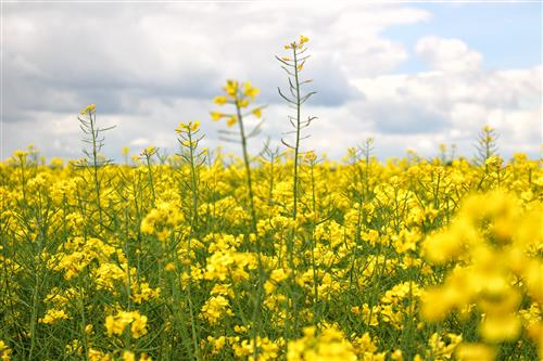 Blooming canola with sky