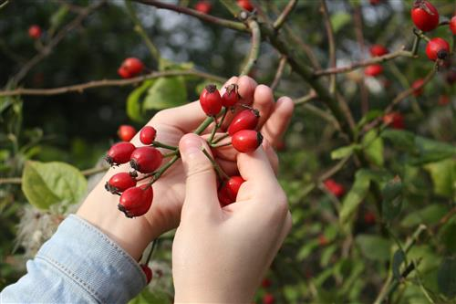 Woman picking rose hips